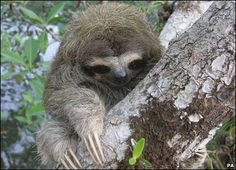 Pygmy sloth: To cute, something out of Star Wars?