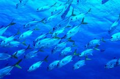 Blue School of FIsh Wall Mural - Photographic