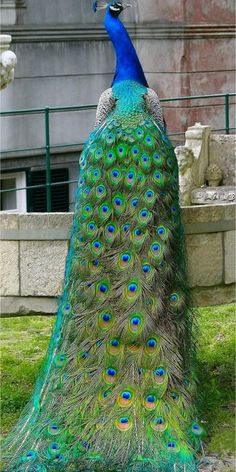 Peacock showing off the beautiful feathers