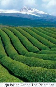 Jeju Island Tea Plantation