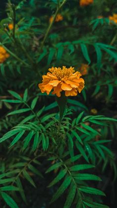 ITAP - Of This Marigold Flower Near A Hindu Temple In Bangladesh