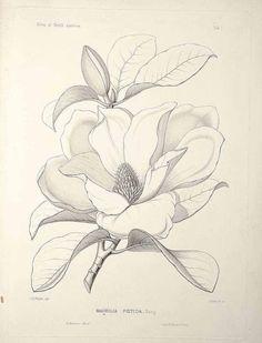 Botanical Drawings, Botanical Art, Botanical Illustration, Flower Sketches, Drawing Sketches, Art Drawings, Flower Drawings, Plant Drawing, Painting & Drawing