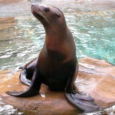 A vida das focas Focas procuram sempre vivem em regiões que sejam muito geladas, perto dos polos do planeta. E isso não é um problema!