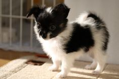 A Papillon puppy - For people that want a Border Collie look a like in a miniature version.