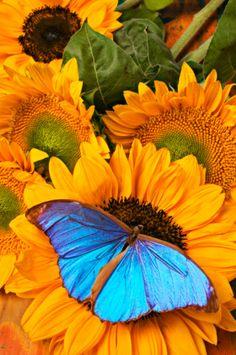 Butterfly On Sunflower Closeup. ~Spring's Awakening!~
