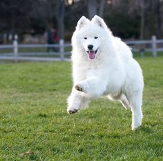 Feliz Sábado a tod@s   #PetsWorldMagazine #RevistaDeMascotas #Panama #FelizSabado #Samoyedo #Mascotas #MascotasPty #PetsMagazine #MascotasAdorables #Perros #PerrosPty #PerrosPanama #Pets #PetsLovers #Dogs #DogLovers #DogOfTheDay #PicOfTheDay #Cute #SuperTiernos