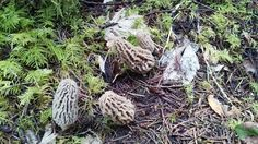 I found some natural morels in Oregon today. #mycology #fungi #mushrooms #Mushroom #BeatrixPotter #nature #Ambleside #fungus #science #mushroomsociety #shrooms