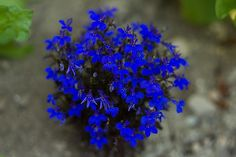 Deep purpley-blue flowers that can only be described as 'lobelia blue' are carried on bronze-green foliage. The plant fills out into a 6 inch bush, ideal for borders, rock gardens, window boxes, and p