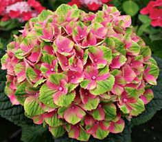 NEW! Hydrangea macrophylla Everlasting™ Amethyst - White Flower Farm