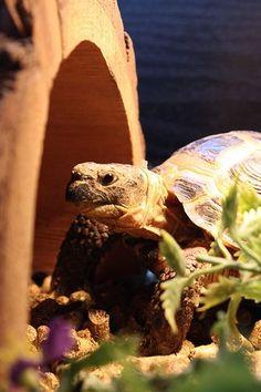 Russian Tortoise.