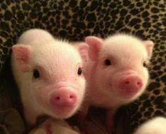 2 little piggies !