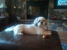 Well Sachi has a nicer house now.and still that biscuit. Cute Puppies, Cute Dogs, Dogs And Puppies, Teddy Grahams, Shih Tzu Dog, Lhasa Apso, Dog Boarding, Four Legged, Dog Grooming