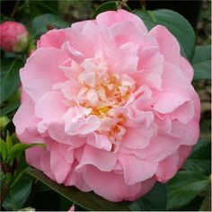 Camellia japonica 'Annie Wylam' (U.S., 1960). 8-10'H x 6-7'W. Long blooming season, from fall to mid-spring.