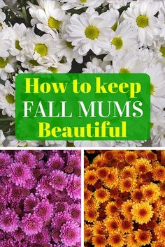 flower garden care Fall mums are synonymous with autumn and can brighten any garden, patio or window box. Here are great tips for selecting, caring and overwintering these fall beauties. Flowers Perennials, Planting Flowers, Flower Gardening, Fall Perennials, Fall Window Boxes, Fall Mums, Overwintering, Beautiful Flowers Garden, Organic Gardening Tips