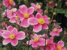 Pink Japanese Anemone Plants In The Yard : Growing Anemone Plants In Your Yard