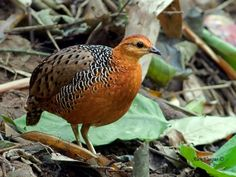 Ferruginous Partridge (Caloperdix oculeus oculeus) © Alex Vargas; Location: Kaeng Krachan NP, Petchaburi, Thailand