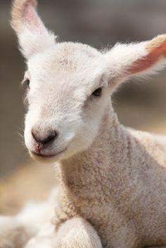 The Lamb of God... JESUS