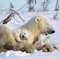 "45.2k Likes, 366 Comments - AWESOME EARTH (@awesome.earth) on Instagram: ""Lovely polar bear family Photo by @david_hemmings_photo_tours check out his feed for more"""
