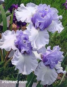 Tall bearded Irises and rebloomer bearded iris bulbs for sale. Healthy freshly dug Bearded Iris rhizomes in Large sizes. Beautiful Tall bearded Iris collections from our garden. Iris Flowers, Exotic Flowers, Amazing Flowers, Pretty Flowers, Purple Flowers, Planting Flowers, Tall Flowers, Purple Iris, Flowers Garden