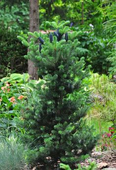 Abies koreana 'Lippetal': a full view of this dwarf conifer (a 10 year old is approximately 4' x 2'.)