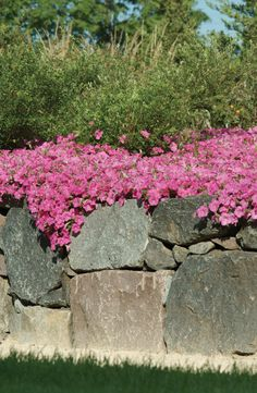 Petunia Wave Pink. Spills and thrills! www.wave-rave.com