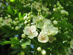 Jak sbírat květnové bylinky