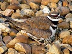 My favorite bird..the killdeer.