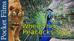 Wildlife Documentary- When The Peacocks Sing: 5:23-7:00 shows peacocks native to India for letter P lesson.