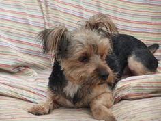 Clovis is an adoptable Yorkshire Terrier Yorkie Dog in Dayton, OH. Clovis is 1yr, he came to us with a broken foot. He had to have surgery to reset it and then be on cage rest for 8 weeks which was ha...