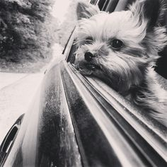 Road Trip | A community of Yorkshire Terrier lovers! #YorkshireTerrier