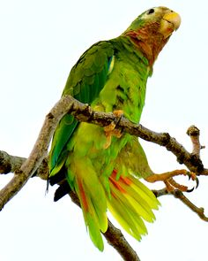 Yellow-billed parrot ((Amazona collaria), endemic to Jamaica.