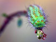 Saturnia pavonia-caterpillar. Door communitylid jimhoffman - NG FotoCommunity ©