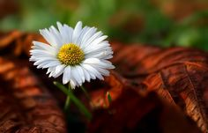 Lawn daisy by Tinx Christina Rossetti, Most Beautiful Flowers, Living In New York, Macro Photography, Lawn, Daisy, Places To Visit, Things To Sell, Floral