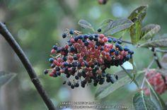 Photo of Possumhaw Viburnum (Viburnum nudum 'Winterthur') uploaded by treehugger