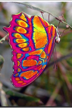 Eastwestfalian Fire Clipper Butterfly http://i1.treknature.com