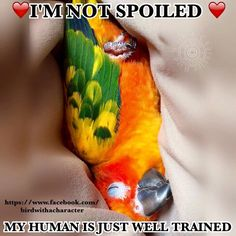 A funny parrot can be so cute. Check out these funny parrot videos. Contains some funny parrots dancing, some funny parrots talking or better said, imitating, Funny Birds, Cute Birds, Pretty Birds, Beautiful Birds, Parrot Pet, Parrot Toys, Parrot Bird, Caique Parrot, Food Dog