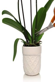 My Phalaenopsis Orchid Rebloom? Here are a few helpful tips to encourage your Phalaenopsis orchid to rebloom.Here are a few helpful tips to encourage your Phalaenopsis orchid to rebloom. Phalaenopsis Orchid Care, Orchid Plants, Garden Plants, House Plants, Indoor Plants, Potted Plants, Orchid Supplies, Orchid Leaves, Orchid Flowers
