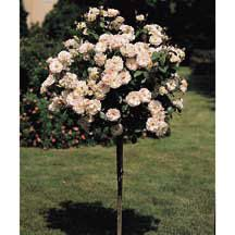 """Peach Drift Patio Tree Rose- The most floriferous of the Drifts. Plants are almost continuously covered with large clusters of 5 to 8 bright apricot-peach blooms per stem. Strong disease resistance. Zone 5 hardy. Flower Size: 1-1/2"""". Fragrance: Slight"""