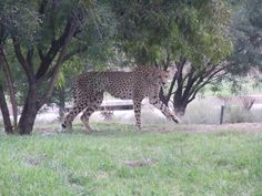 Cheetah's were once trained by people for hunting.  Unfortunately man found darker purpose for them.