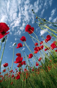 "500px / Photo ""Red poppies"" by Zoltan Fabian78"