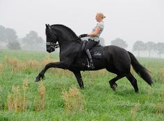 Beautiful gate, prance of this gorgeous black stallion. Powerful control. Misty morning walk in the meadow.