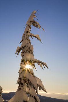 ✯ Sunlight Through Snow-covered Tree