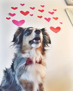 We hope everyone had the best Valentine's Day ever! We spent the whole day with mom and dad so it basically was the best day ever!  We are celebrating Valentine's Day with @worldofbeau @goldens.unleashed @lizzie.bear and @graywoof by spreading some love. #heartswithtails  This is West's entry for #whosyourvalentine2016 hosted by @pupsonpar @kelly_bove and @life_with_charlie  This is West's entry for #ValentinePups2016 hosted by @allie.gator.aussies @suspensethebc and @crazyaboutspots  This…