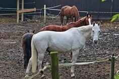 Pferde auf der Koppel, Braune Pferde & ein weißes Pferd