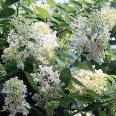 Hydrangea paniculata is the easiest hydrangea to grow. In late summer and autumn, this rugged shrub produces fluffy clusters of white flowers that fade to shades of pink and green. Many cultivars, such as 'Tardiva', can be successfully trained into a standard, or miniature tree form -- perfect for a large container or just about any landscape spot. Name: Hydrangea paniculata Growing Conditions: Full sun or part shade and well-drained soil Size: To 10 feet tall and wide Zones: 4-8/