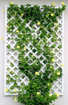 celosía blanca característica enrejado con una enredadera de flores de colores hace uso del espacio vertical contra una pared de la casa .: