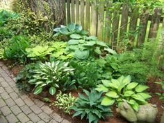 variety of Hosta. Green plant that likes shadowy place, and have usually lovely lilac flowers.