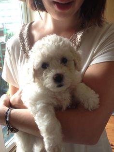 7 weeks old #bichon #puppy #bichonfrise #animals #dog