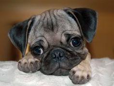 Pug Puppy!