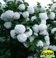 Viburnum op. 'Pohjan neito', Snöbollsbuske. Vita bollformade blommor i juni. Höjd: 3 m.